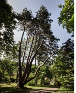 sedmikmena borovice