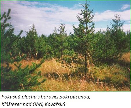 borovice pokroucena