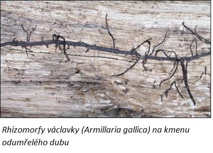 rhizofory vaclavky na dubu