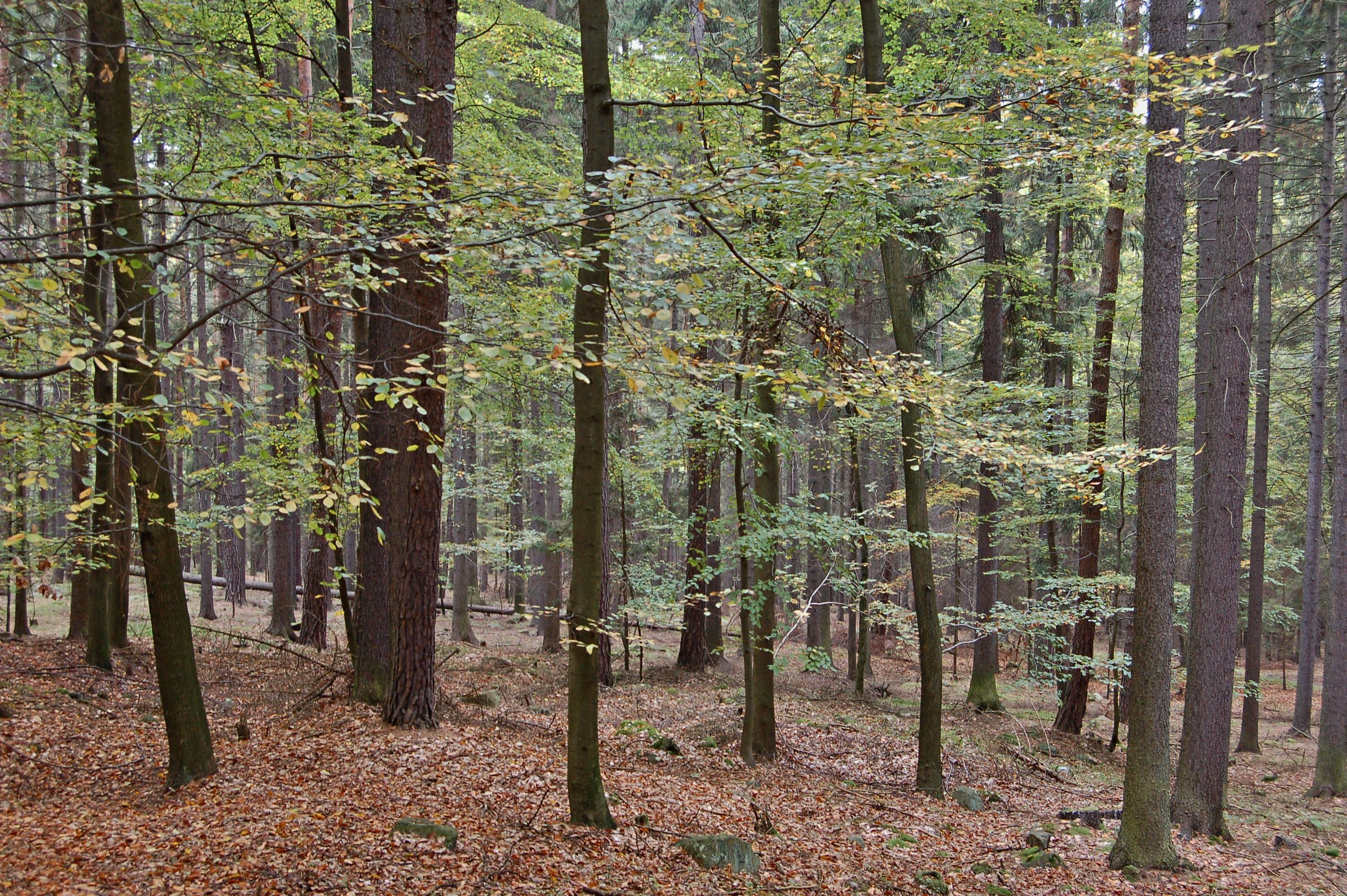 Kořeny buku mohou chránit smrky před suchem