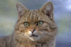 59693993 - european wildcat portrait, closeup