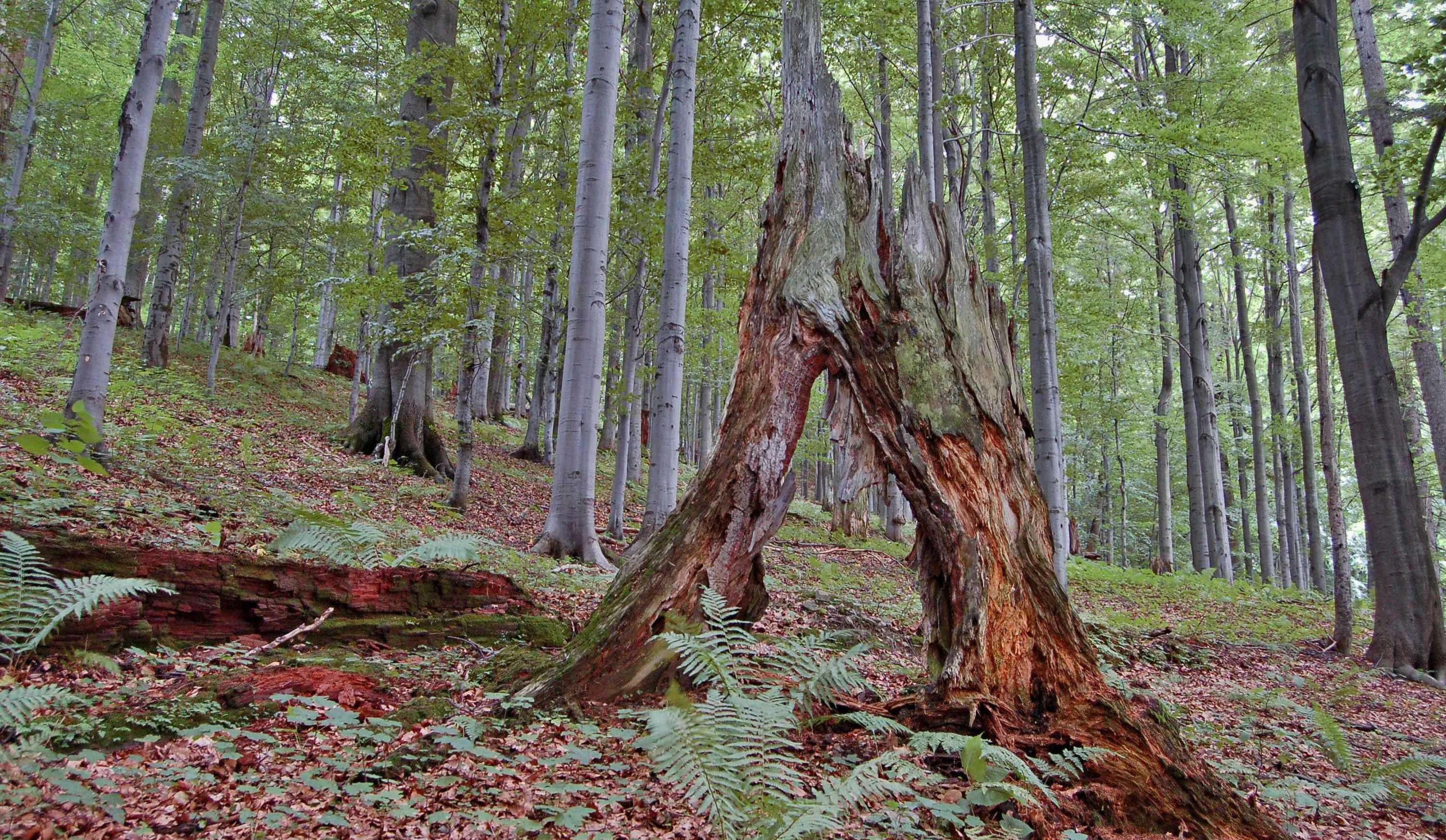 Mrtvé dřevo významně napomáhá rozmanitosti lesů