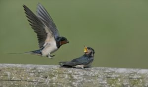 Swallow, Hirundo rustica, adult with young on fence, Norfolk, UK
