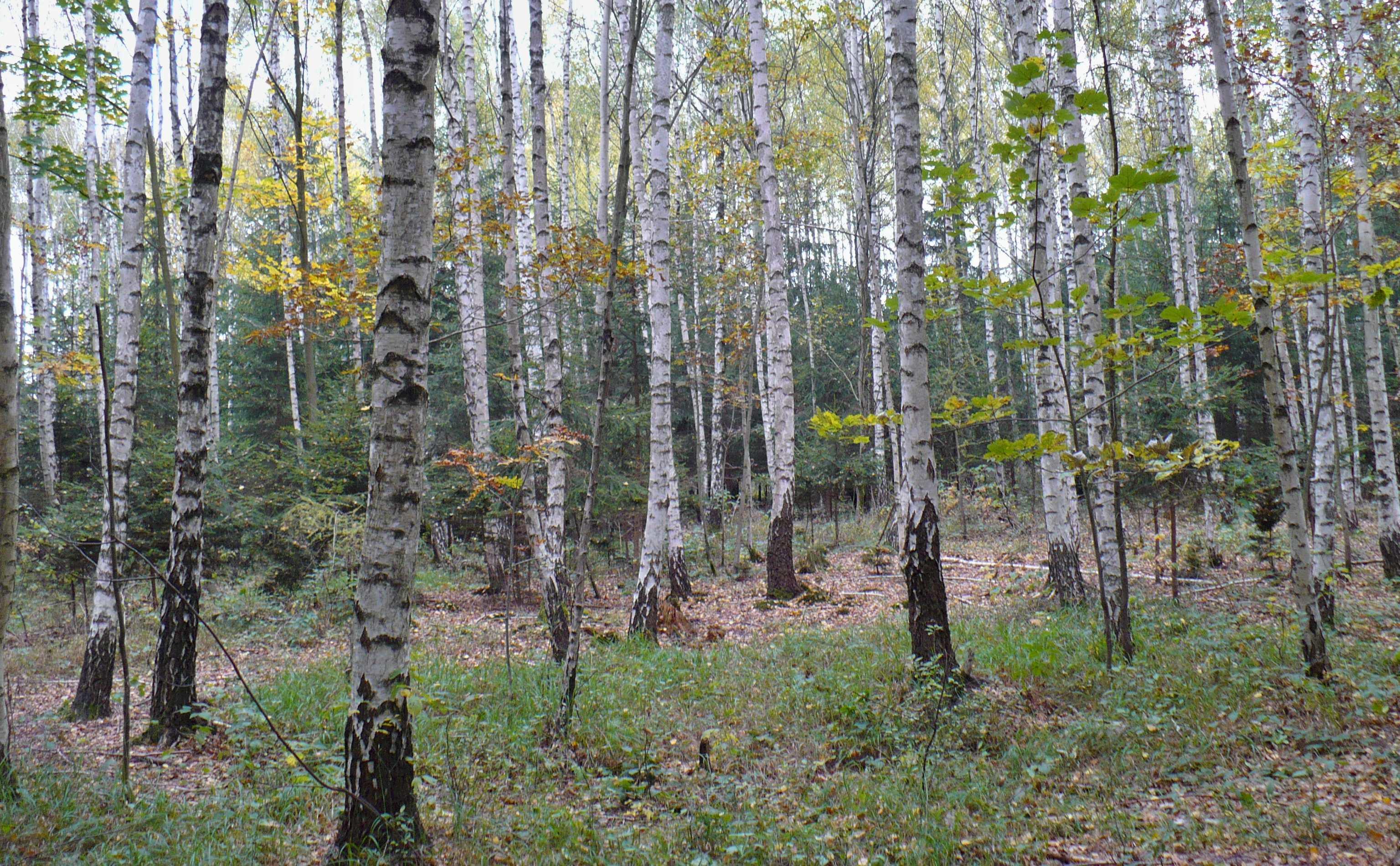 Bříza není plevel, v lese plní řadu důležitých funkcí