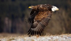 Flying big birds of prey White-tailed Eagle above meadow with open wings