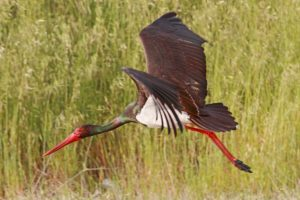 19845895 - a black stork ciconia nigra just took off