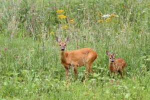 21168063 - roe deer doe ( capreolus ) and her baby looking at the camera while standing in the big grass
