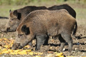 11181007 - wild boar