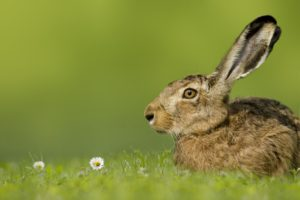 Easter bunny / hare sitting in meadow on green background