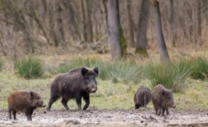Wild boars looking for food in winter time
