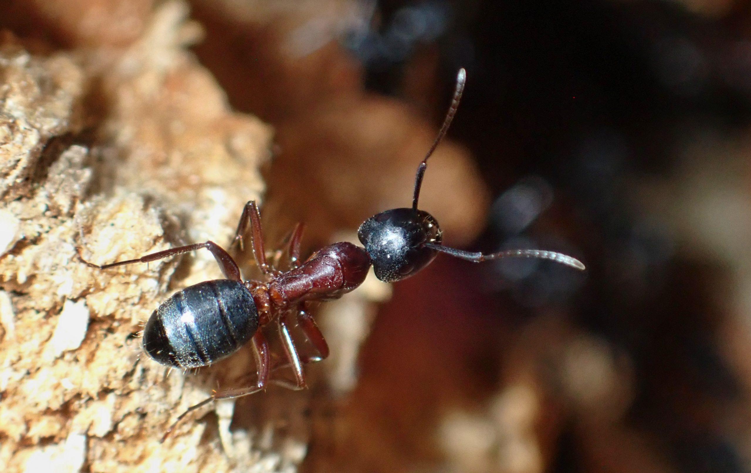 Mravenec dřevokaz ve smrkových lesích: škůdce nebo pomocník?