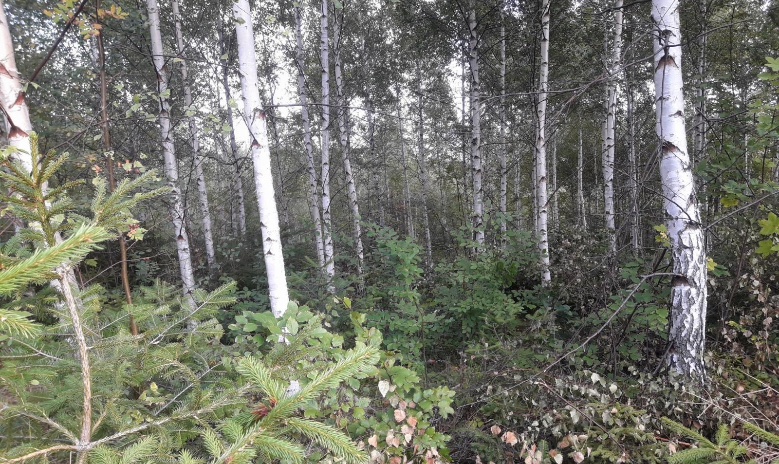 Podsadby buku lesního v přípravných porostech