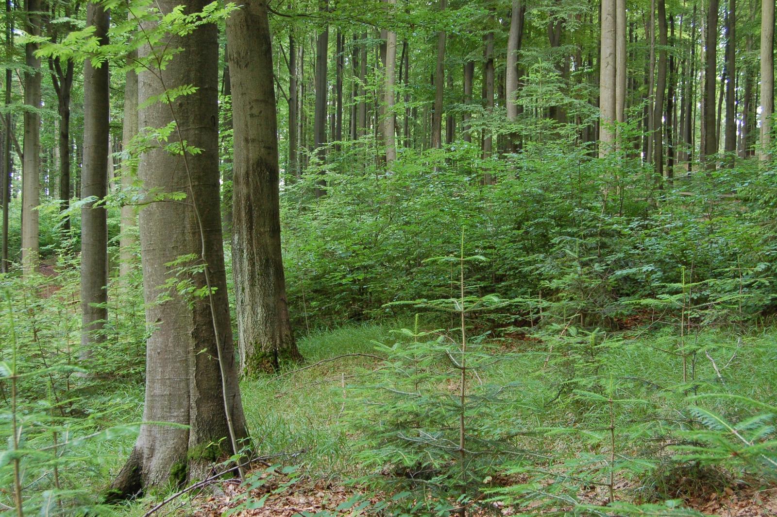 Pomozme jedli bělokoré vrátit se do našich lesů